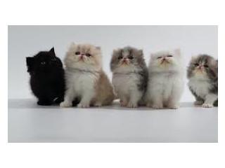 Pui de pisică de rasă pură disponibili