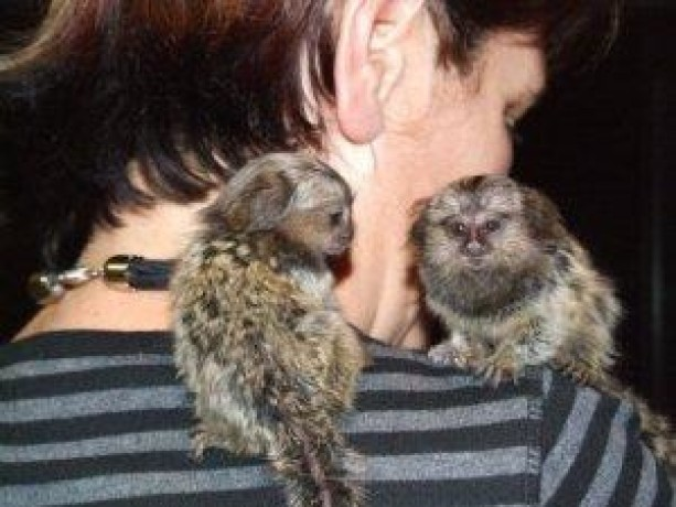 maimute-marmoset-pentru-adoptare-big-0