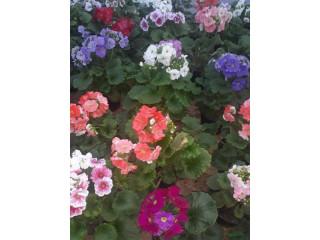Sera de flori sîmbăta noua va ofera flori