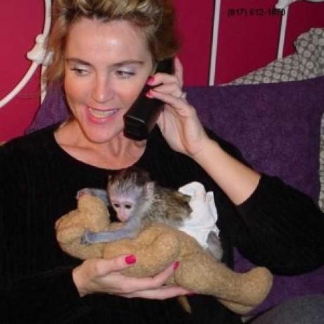 maimuta-minunata-de-capucini-pentru-adoptia-de-craciun-big-0