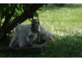 maimuta-minunata-capuchin-minunat-pentru-adoptie-small-0