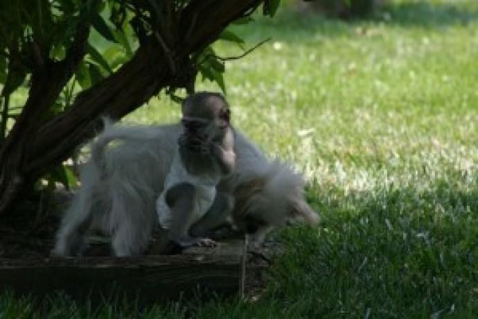 maimuta-minunata-capuchin-minunat-pentru-adoptie-big-0