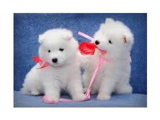 Samoyedo remarcabili pentru adopție