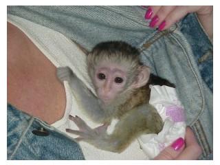 Minunată maimuță capucină minunată pentru adopție