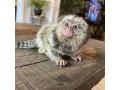 maimutele-marmite-disponibile-acum-pentru-adoptare-small-0