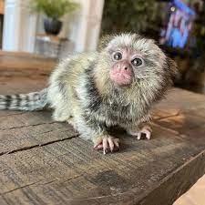 maimutele-marmite-disponibile-acum-pentru-adoptare-big-0