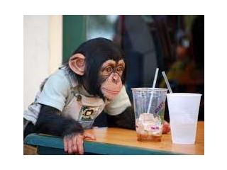 Maimuță cimpanzeu