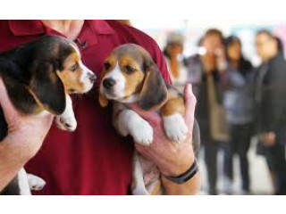 Catelusii Beagle draguti