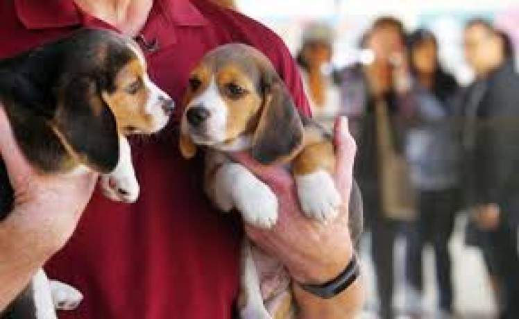 catelusii-beagle-draguti-big-0
