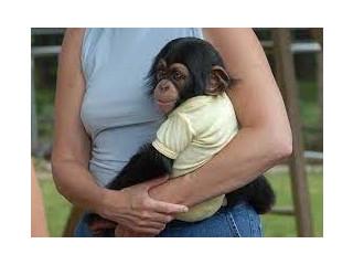 Frumoasă maimuță de cimpanzeu