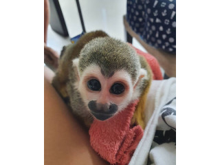 Minunată maimuță veveriță fermecătoare pentru adopție
