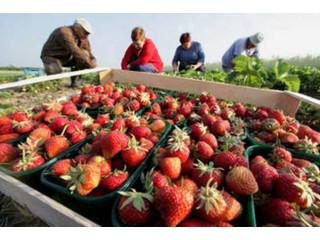 Locuri de munca la cules de căpșuni in Germania!