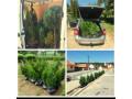 plante-ornamentale-piatra-de-munte-small-2