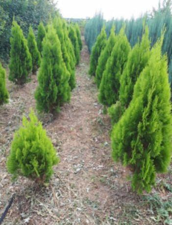 plante-ornamentale-piatra-de-munte-big-1
