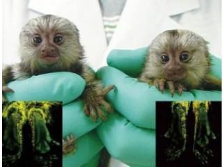 Maimutele fermecătoare Marmoset disponibile