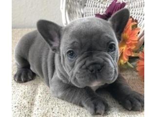 Bulldogi francezi înregistrați pentru adoptare