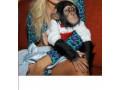 cimpanzeu-uimitor-disponibil-pentru-adoptare-small-1