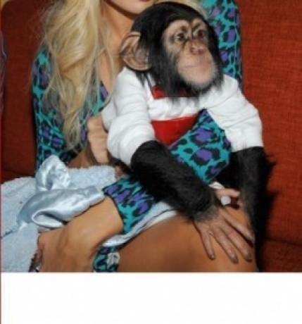 cimpanzeu-uimitor-disponibil-pentru-adoptare-big-1